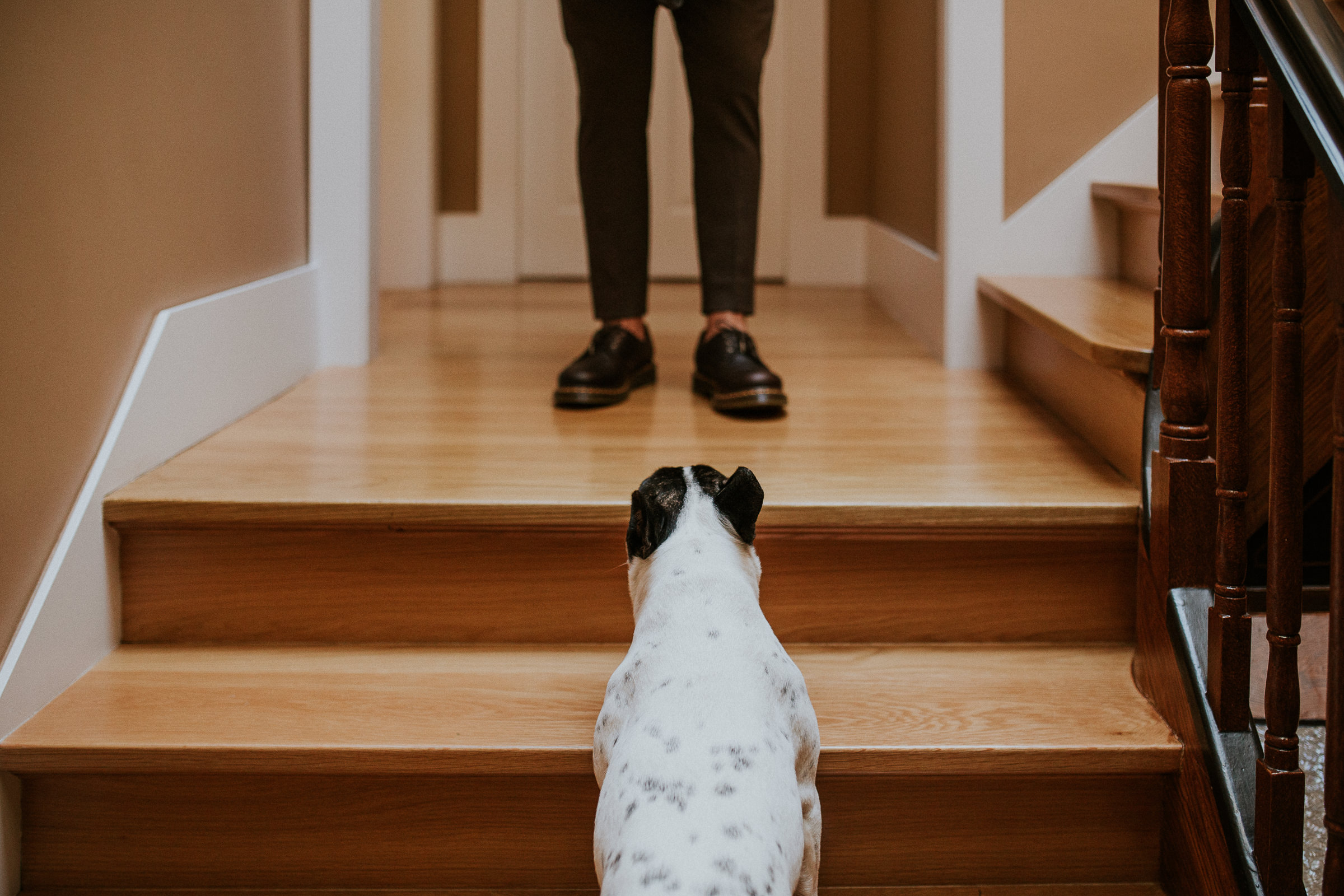 french bulldog walking up the stairs